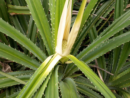 tectorius: Shoots of Screw pine (Pandanus fascicularis) is a species of pandan native to Southeast Asia, South India, Taiwan and South Japan Stock Photo