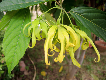 perfumed: Perfume Tree (Ylang-Ylang Flower) blooming on tree for manufacture of essential oil. Stock Photo