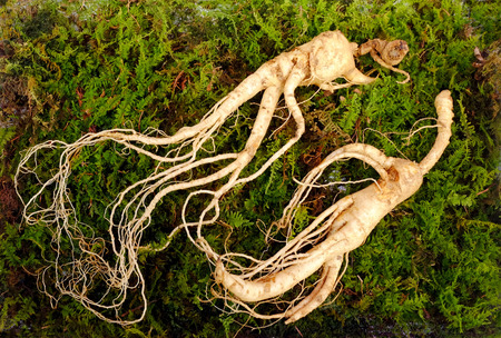 Wild Korean ginseng root. Wild ginseng can be processed to be red or white ginseng. Ginseng has been used in traditional medicine. Foto de archivo - 99001293