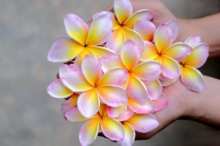 Plumeria or Frangipani flower in hand, spa treatment concept.