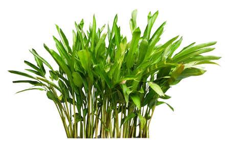 Heliconia plant bush isolated on white background Standard-Bild