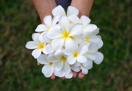 White Plumeria or Frangipani flower in hand, spa treatment concept.
