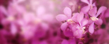 Closeup of blooming pink orchid in spring banner background.