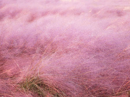 Beautiful pink muhly grass blooming in autumn , South Korea