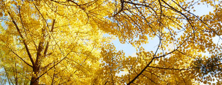 Autumn banner background with yellow ginkgo biloba leaves.