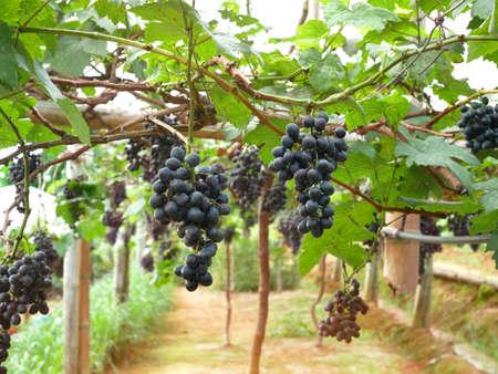 Red wine grapes hanging on vineyard.
