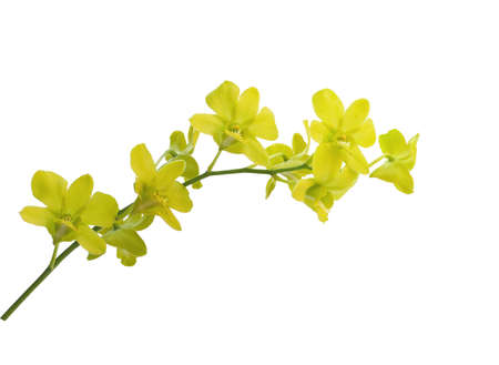 Yellow orchid flowers isolated on white background