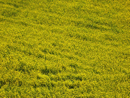 Aerial view of yellow rape flowers, rapeseed or canola field. Natural background.