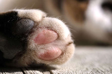 Paw of a brown cat on wooden background. Happy sleeping cat.