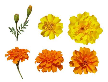 Set of marigold flowers isolated on white background.