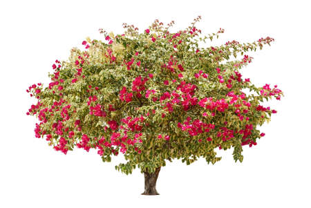 Bougainvillea tree (paper flower) tropical plant isolated on white background.