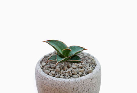 Small plant in pot succulents or cactus isolated on white background. Minimal style design with plants.