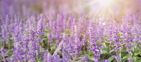 Lavender flowers at sunlight and blur background. Lavender field banner design
