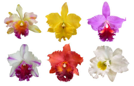 Set of beautiful colorful Cattleya orchids flowers on white background.
