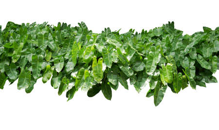 Cut out plant. Tropical green leaves bush, lush foliage nature garden isolated on white background