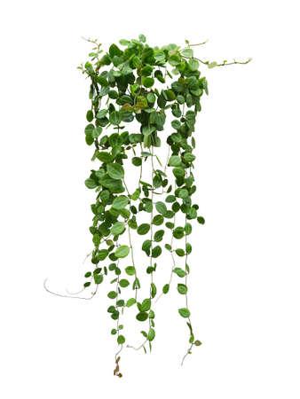 Hanging vine plant succulent leaves of Hoya (Dischidia ovata Benth), indoor houseplant isolated on white background.
