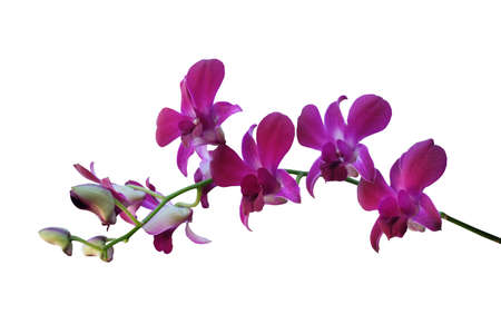 Beautiful blooming branches of purple phalaenopsis orchids isolated on a white background.