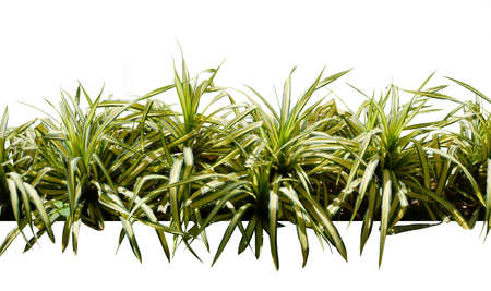 Decorative variegate grass, tropical plant bush tree isolated on white background Banque d'images