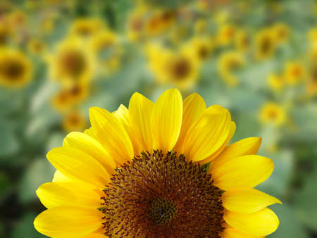 Closeup of a sunflower on natural blurred background