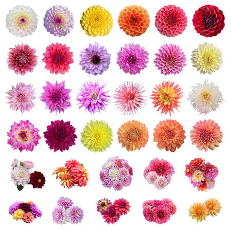 Set of dahlias flowers blooming isolated on white background.