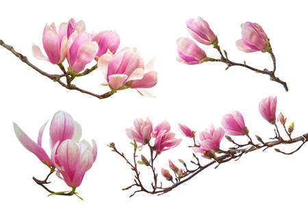 Beautiful pink spring magnolia flowers on a tree branch isolated on white Banque d'images