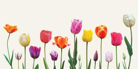 Spring flowers tulips arrangement on light background. Easter or Valentine's day banner design. Banque d'images