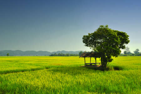 Cornfield In Thailand photo