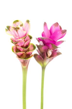 Siam tulip or Curcuma flower isolated on white background photo