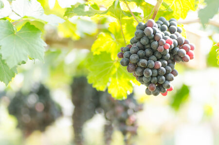 seedless: Seedless grapes hanging on the tree Stock Photo