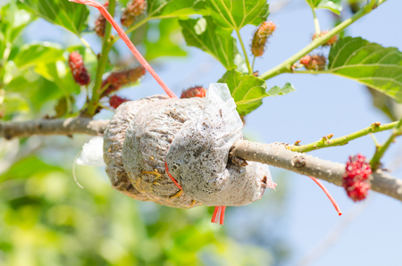 induced: Grafting on mulberry tree branch,induced root,agricultural technique
