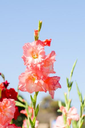 gladiolus: Beautiful gladiolus flower on blue sky Stock Photo