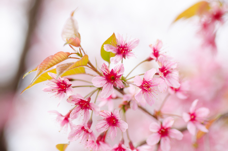Beautiful pink cherry blossom in winter season,Chiangmai,Thailand photo