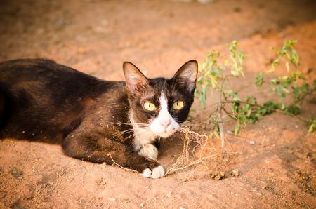 nepeta cataria: Gatto nero con erba gatta
