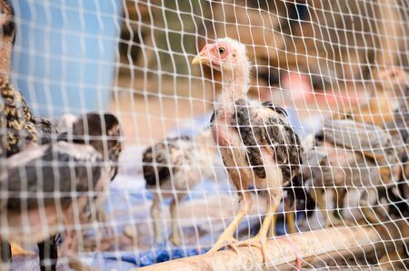 chicken cage: Chicken in cage,poultry farm