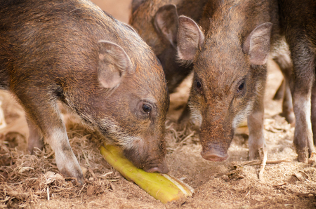 Young boar in the farm photo