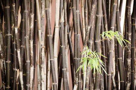 thailand bamboo: Bamboo in the northern of Thailand, bamboo background Stock Photo