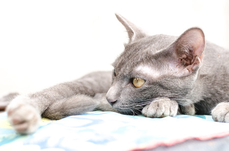 gray cat: Gray cat is on the fabric