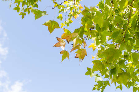 blue green background: Green maple leave on blue sky background