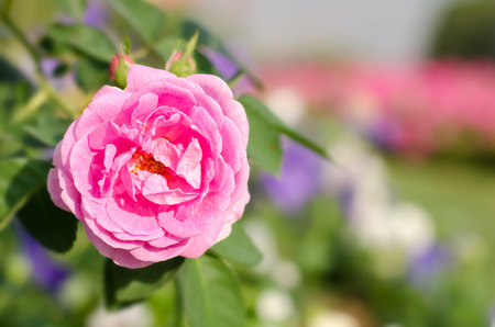 beautiful rose: Pink rose in the garden Stock Photo