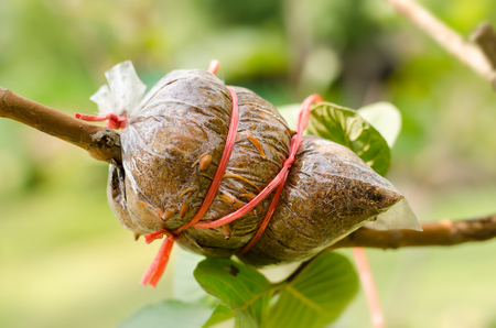 induced: Grafting on guava tree branch,induced root,agricultural technique