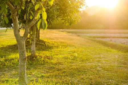 mango tree: Beautiful sunset in agricultural field with mango tree