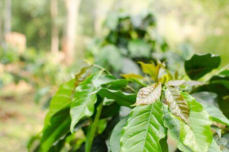 planta de cafe: Planta de café en el campo