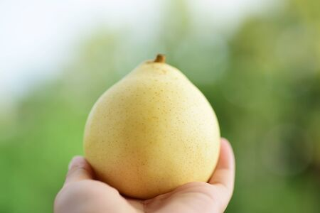 asian pear: Asian pear holding by hand on green background Stock Photo