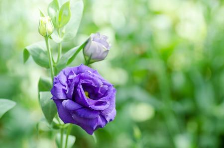 Violet Lisianthus flower in a garden Stock Photo