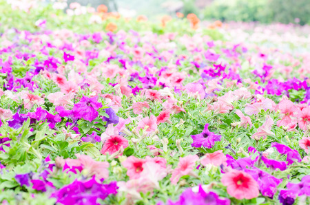 Colorful petunia flower blossom in a garden