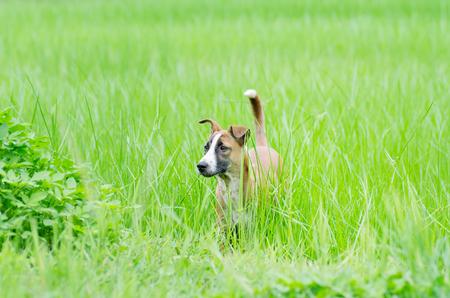 Brown dog on green grass field