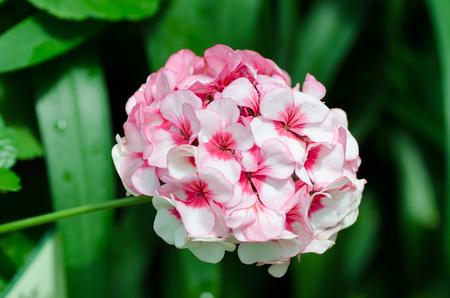 Pink geranium flower decorative in a garden Stock fotó