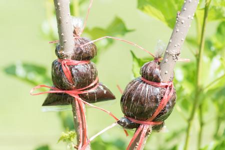 Inplanting op moerbeiboomtak, geïnduceerde wortel, landbouwtechniek