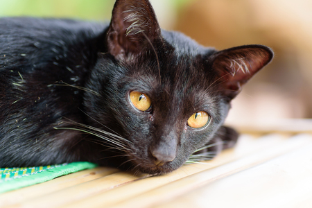 Portrait of black cat looking camera, cute animal and pet