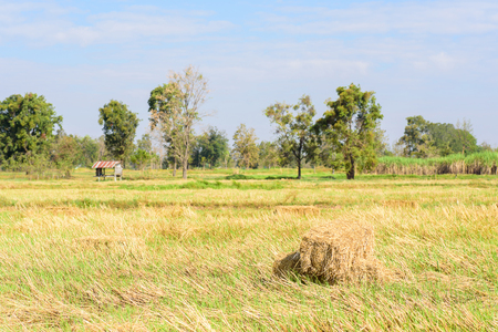 Stack of rice straw in the rice field that harvest for livestock Stock fotó